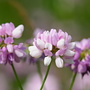 purple crown vetch